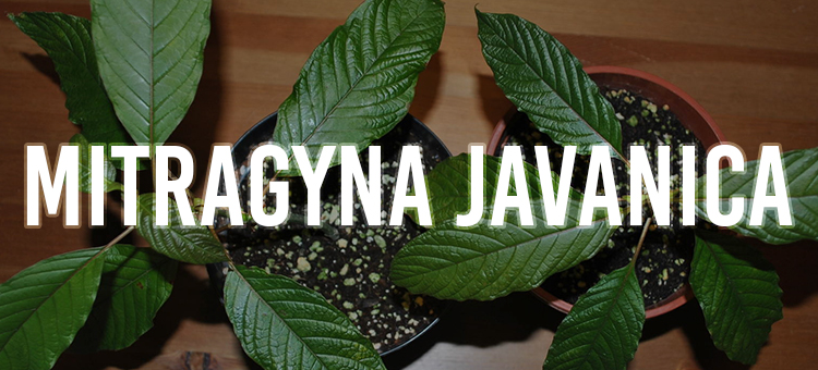 Mitragyna Javanica – Is It a Worthy Kratom Alternative